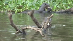 Giant River Otter feeding on fish filmed from boat in Pantanal in Brasil 4 Stock Footage