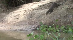 Giant River Otter go into river filmed from boat in Pantanal in Brasil Stock Footage