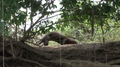 Giant River Otter mark his territory and walks into water filmed from boat in Stock Footage