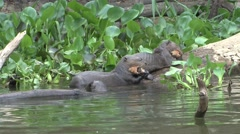 Stock Video Footage of Giant River Otter young feeding on fish filmed from boat in Pantanal in Brasi