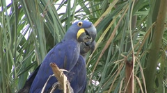 Hyacinth Macaw perched in tree in Pantanal in Brasil 2 Stock Footage