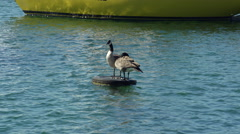 Geese hanging out on a tire on the lake. 4K UHD. Stock Footage