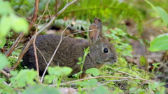 Wild Rabbit in bushes listening turns ears Stock Footage