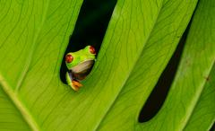 Just Hanging! Red Eye Tree Frog Stock Photos