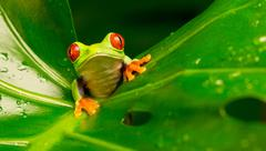 Hi Red Eye Tree Frog - stock photo