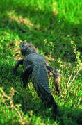 Alligator In swamps - stock photo