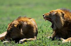 Lioness  in the savanna - stock photo