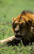 Stock Photo of Lion  in the savanna