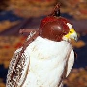 Bird falcon with falconry blind hood Stock Photos