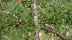 Yellow-chevroned Parakeet feeding in Pantanal in Brasil 3 Stock Footage
