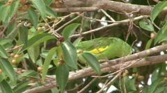 Yellow-chevroned Parakeet feeding in Pantanal in Brasil 5 Stock Footage