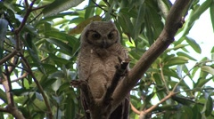 Great Horned Owl cleaning feathers in Pantanal in Brasil Stock Footage