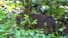 Wild Rabbit eats looks and hops Stock Footage