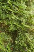 texture arborvitae - stock photo