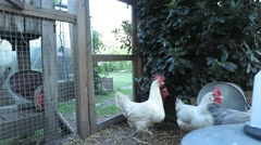 Hens in a chicken coop Stock Footage