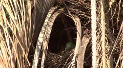Monk Parakeet building nest in Pantanal in Brasil 4 - stock footage