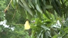 Monk Parakeet feeding in Pantanal in Brasil - stock footage