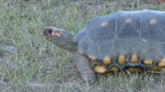 Red-footed tortoise lwalking in Pantanal in Brasil 2 Stock Footage