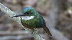Rufous-tailed Jacamar looking around in Pantanal in Brasil 1 Stock Footage