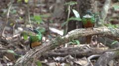 Rufous-tailed Jacamar looking around in Pantanal in Brasil 2 Stock Footage