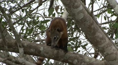 Southern Coati lay down in tree in Pantanal in Brasil - stock footage