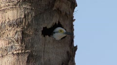 White Woodpecker looking out of nestinghole in Pantanal in Brasil 2 Stock Footage