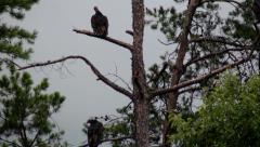 Turkey vultures on dead pine tree dark clouds Stock Footage