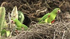 White-eyed Parakeet in nest in Pantanal in Brasil Stock Footage