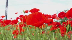 Red poppies. - stock footage