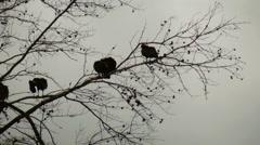 Turkey vulture in dead pine tree Stock Footage