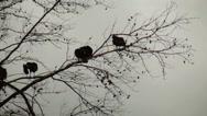 Stock Video Footage of turkey vulture in dead pine tree