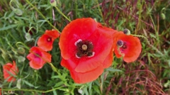 Bee on red poppy flower, pollination - stock footage