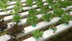 Hydroponics Vegetable Farm Stock Footage