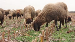 Flock of sheep grazing in a field Stock Footage