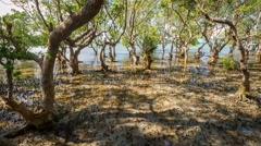 Massive mangrove trees on Philippines, rush and tide timelapse 4k - stock footage