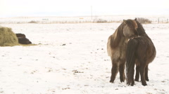 Icelandic horses take care of each other Stock Footage