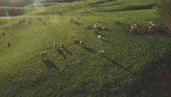 Aerial of sheep on lush green  hillside Stock Footage