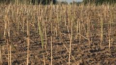 Field of harvested oilseed rape, 4K - stock footage