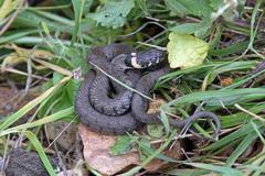 British grass snake. - stock photo