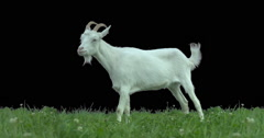 Goat on green meadow. Production quality clip with alpha matte. ProRes 422HQ Stock Footage