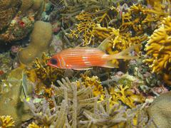 Tropical fish longspine squirrelfish underwater Kuvituskuvat