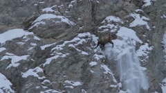 Alpine ibex falling from a cliff Stock Footage