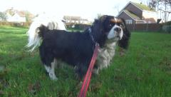 King Charles Cavalier Dog Posing and Walking In Field On Her Lead Slow Motion Stock Footage