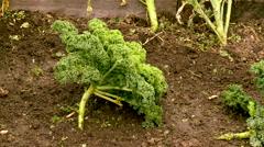 Kale growing in the vegetable garden Stock Footage