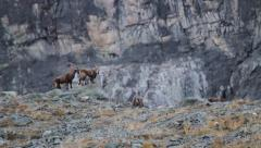 Alpine ibex calm down two youngs Stock Footage