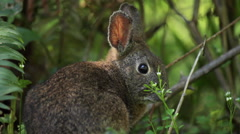 Wild Rabbit in bushes listening and looking Stock Footage