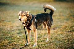 Mixed Breed Medium Size Three Legged Dog Standing At Grass Stock Photos