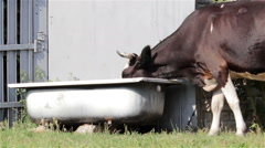 Cow drinking water Stock Footage