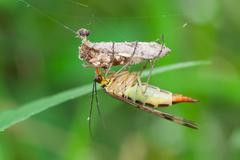 Macro photography of parnopa while eating prey on a spider web Stock Photos