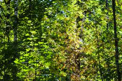 yellow leaves of Rowan tree in green woods - stock photo